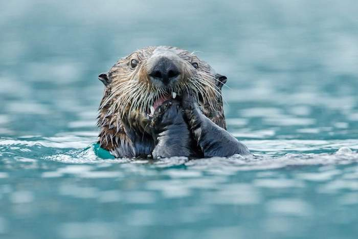 Sea otter eats something while floating in the ocean. By Menno Schaefer | Shutterstock.com