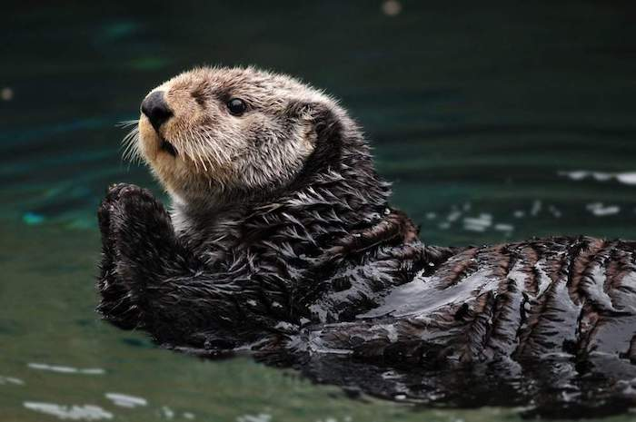 Arctic sea otter playing in the water. By neelsky | Shutterstock.com