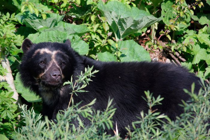 Spectacled bear. By Vanitytheone | Shutterstock.com