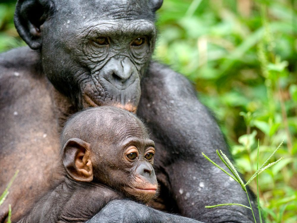 Mother and Cub of Bonobo in natural habitat. Close up Portrait. The Bonobo ( Pan paniscus), called the pygmy chimpanzee. Democratic Republic of Congo. Africa. By Sergey Uryadnikov | Shutterstock.com