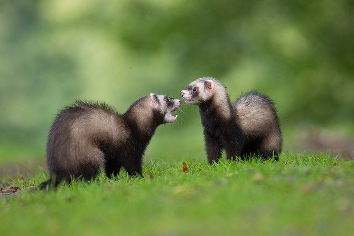 Ferrets playing on grass. By Pavel Hajer | Shutterstock.com